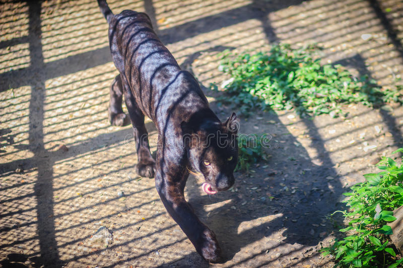 A black panther in the cage, the melanistic color variant of any stock image