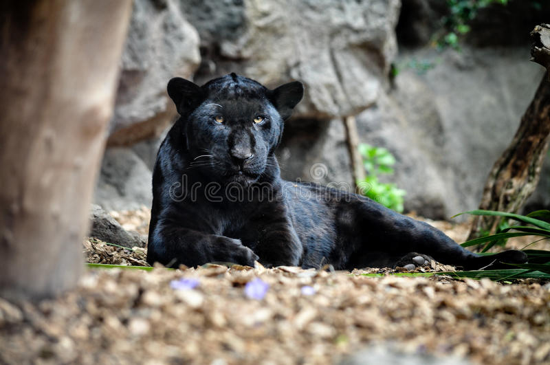 Black panther lying on the ground and looking. stock photo