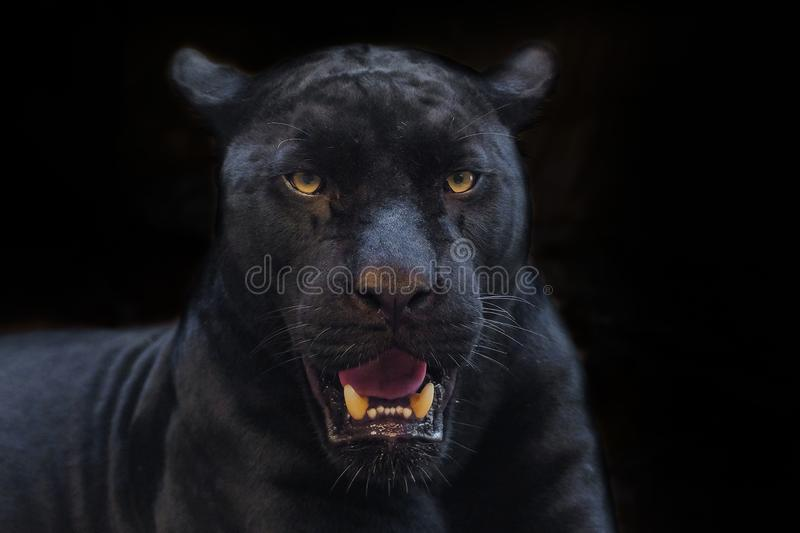 Black panther shot close up. With black background stock images