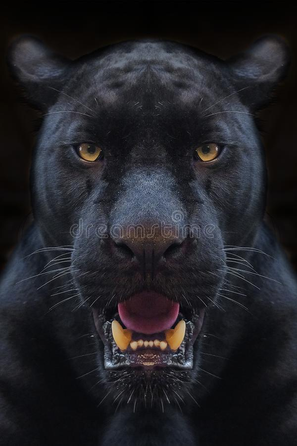 Black panther shot close up. With black background royalty free stock photos
