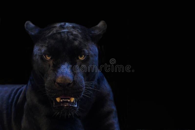 Black panther shot closeup with black background royalty free stock photos