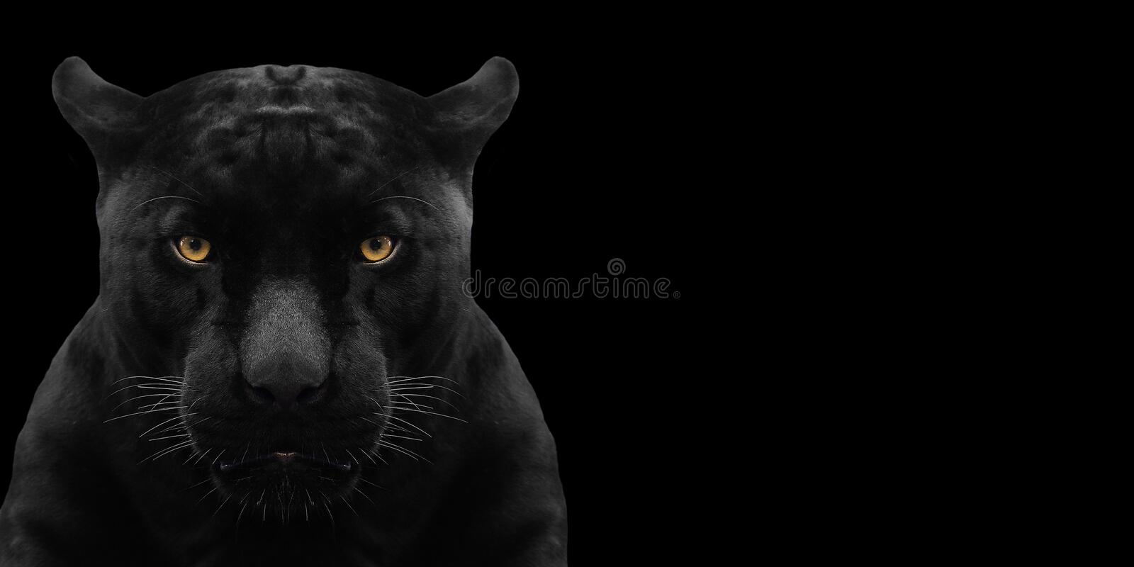 Black panther shot close up. With black background stock photography
