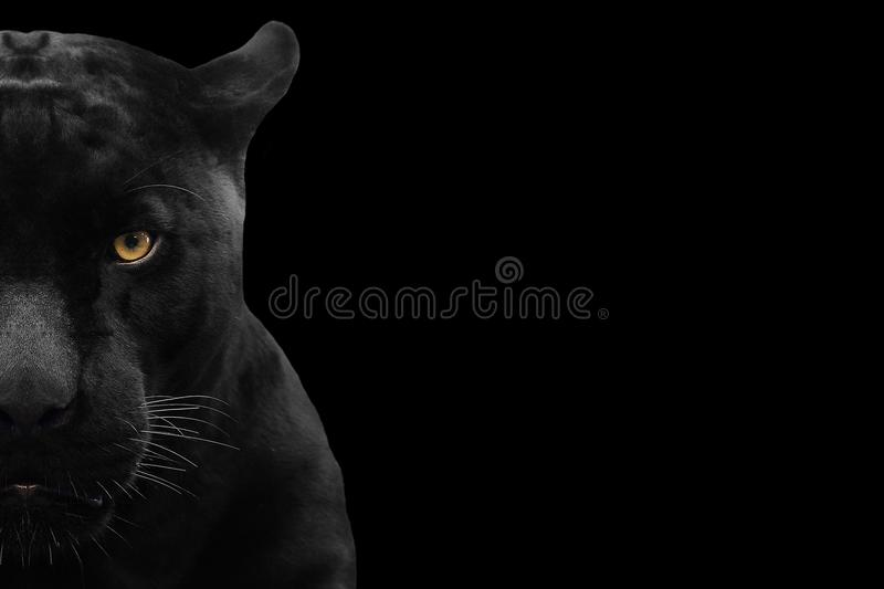 Black panther shot close up. With black background royalty free stock photography