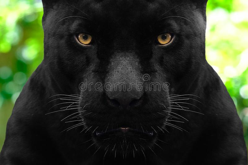 Black panther shot close up. With green background royalty free stock photo