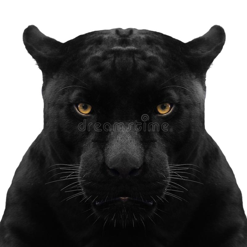 Black panther shot close up. With white background royalty free stock photography
