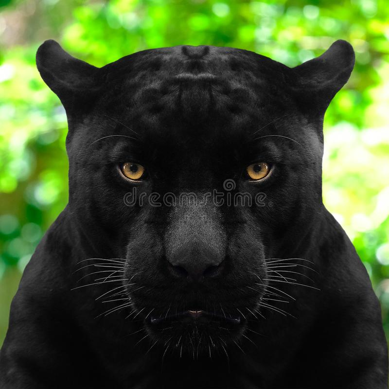Black panther shot close up with green background. Black panther shot close up with on green background royalty free stock image