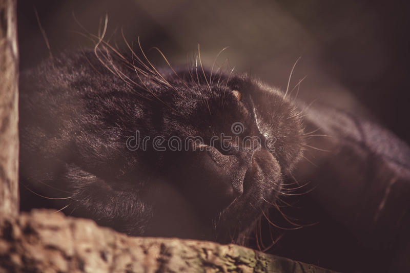 Black panther royalty free stock images