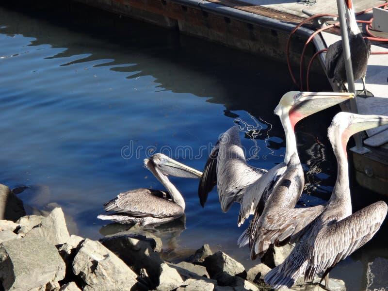 Black Pelicans of Cabo San Lucas, Baja California, Mexico. View of Cabo San Lucas, Baja California, Mexico stock image