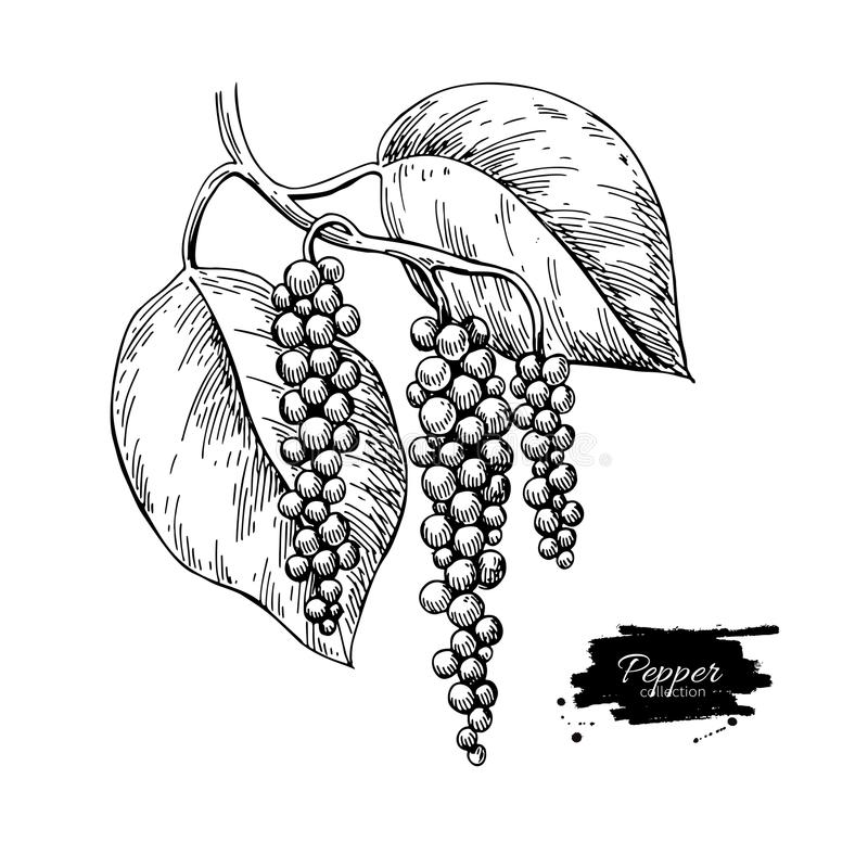 Black pepper plant branch vector drawing. Botanical illustration. Vintage hand drawn spice sketch. Herbal seasoning ingredient, culinary and cooking flavor vector illustration