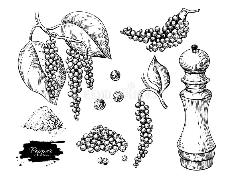Black pepper vector drawing set. Peppercorn heap, mill, dryed seed, plant, grounded powder. Vintage hand drawn spice sketch. Herbal seasoning ingredient stock illustration
