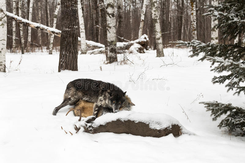 Black Phase Grey Wolf Canis lupus Pushes Other Wolf At Deer Ca stock images