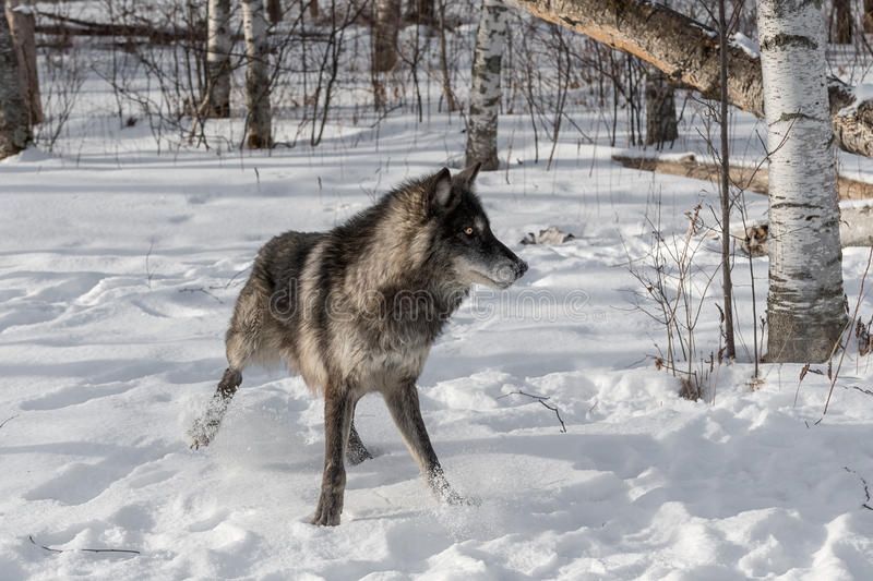 Black Phase Grey Wolf Canis lupus Quick Stop Right. Captive animal royalty free stock images