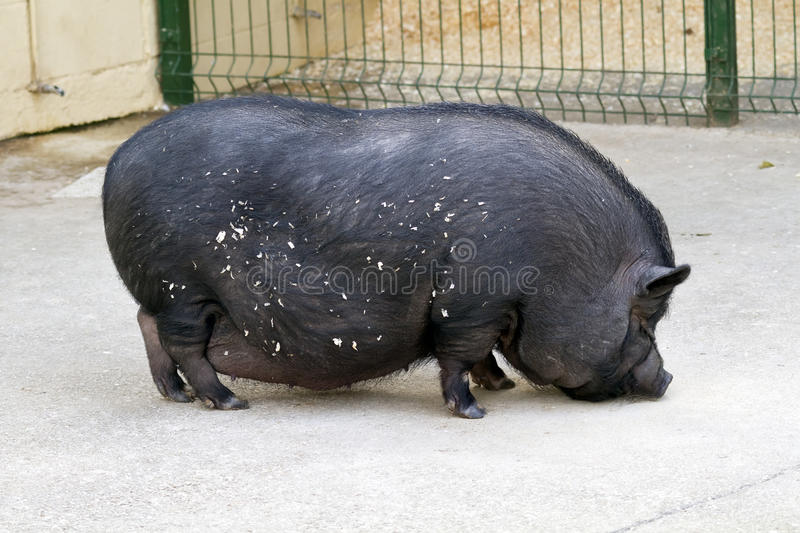 Download Black pig farm stock photo. Image of fear, fatty, fearless - 22927422
