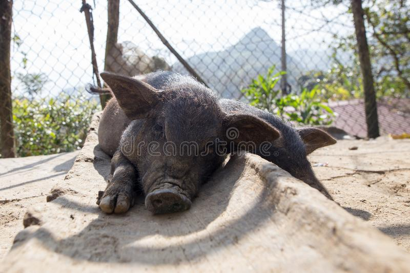 Black pig laying down resting in front yard of countryside house in Sapa Lao Cai Vietnam stock photo