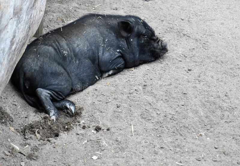Black pig lying down royalty free stock images