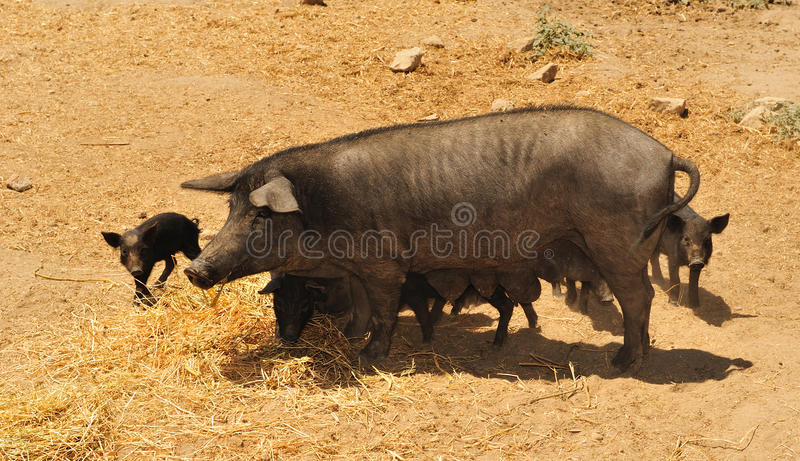 Black pig nebrodi 2 royalty free stock photos