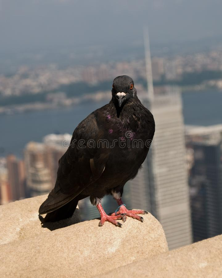 Black Pigeon Up High on Empire State Building, Looking North, stock photography