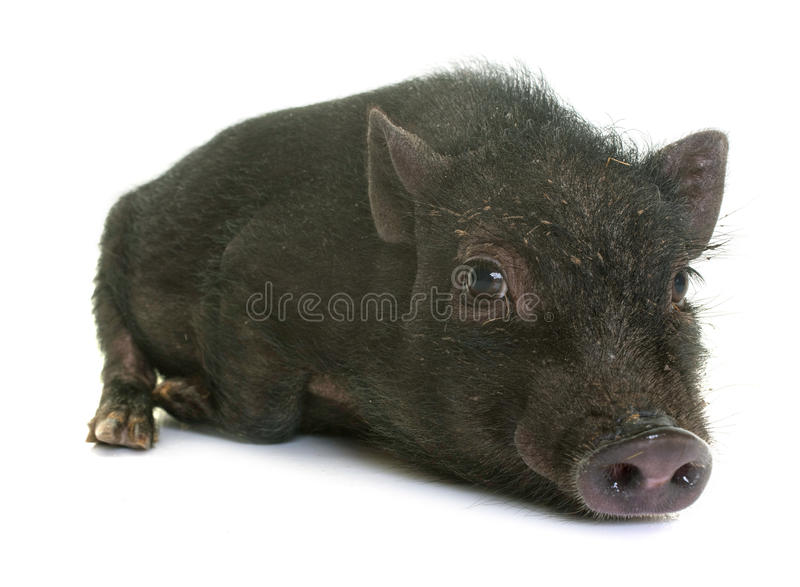 Black piglet in studio stock photos