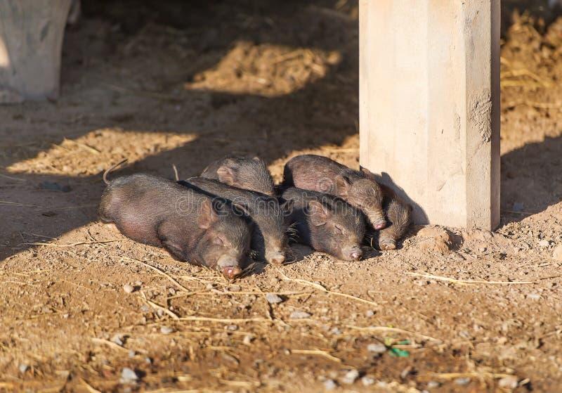 Black piglets sleeping in heap. royalty free stock photos