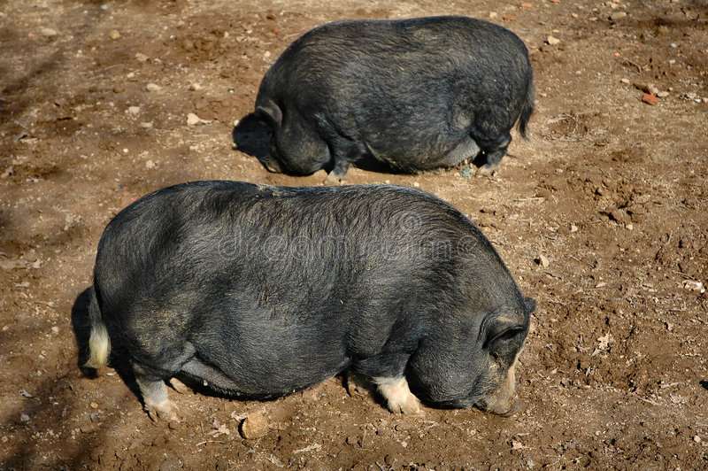 Black pigs royalty free stock photo