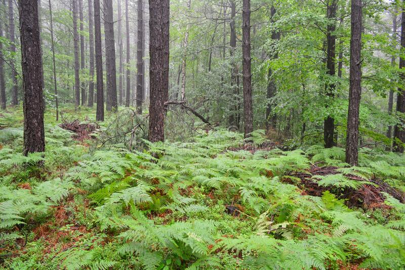 Black pine forest in the rain stock photos