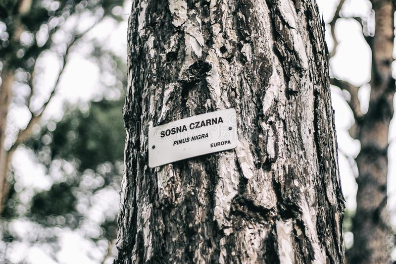 Black pine located in Gdańsk. Sign with the `Black Pine` inscription. Cold style photo with bokeh royalty free stock image