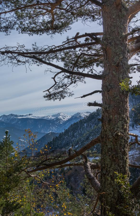Black Pine tree and Pyrenees mountains. A Black Pine tree in the Andorran mountains with snow-covered peaks in the background stock images