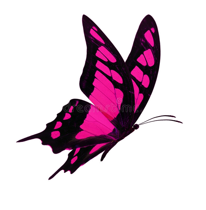Black and pink butterfly flying stock photography
