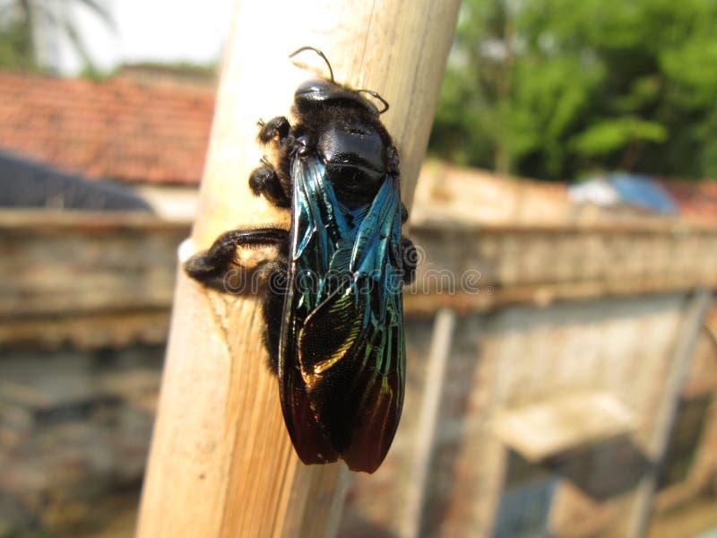Black poisonus fly. Black fly on a stick stock photography