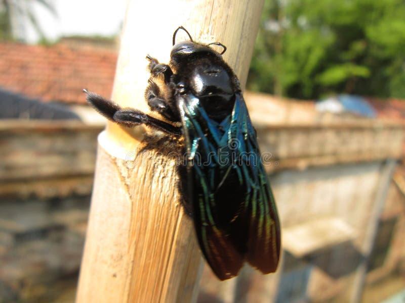 Black poisonus fly. Black fly on a stick stock images
