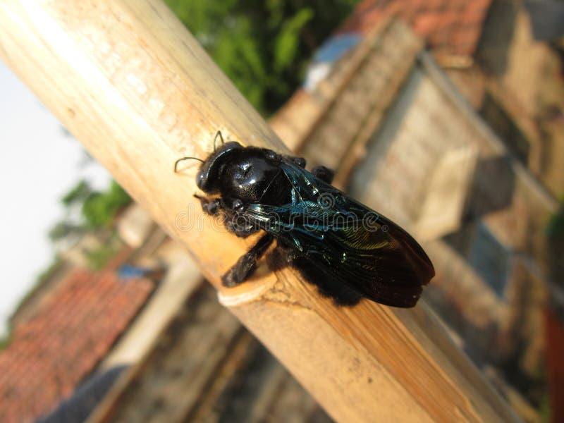 Black poisonus fly. Black fly on a stick stock image