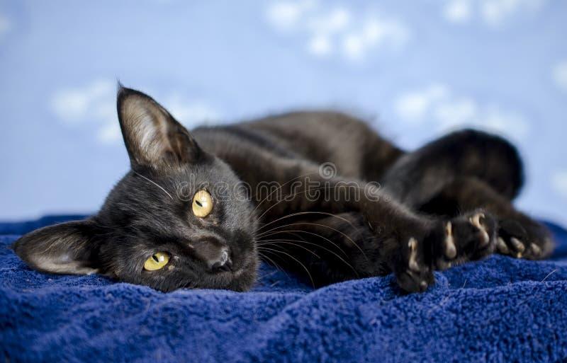 Black polydactyl cat kitten. With yellow eyes on blue background. Humane Society animal shelter adoption photography. Walton County Animal Control, Georgia, USA stock photos