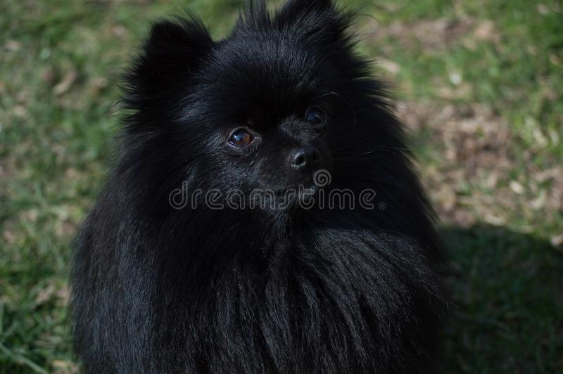Black pomeranian dog royalty free stock photography