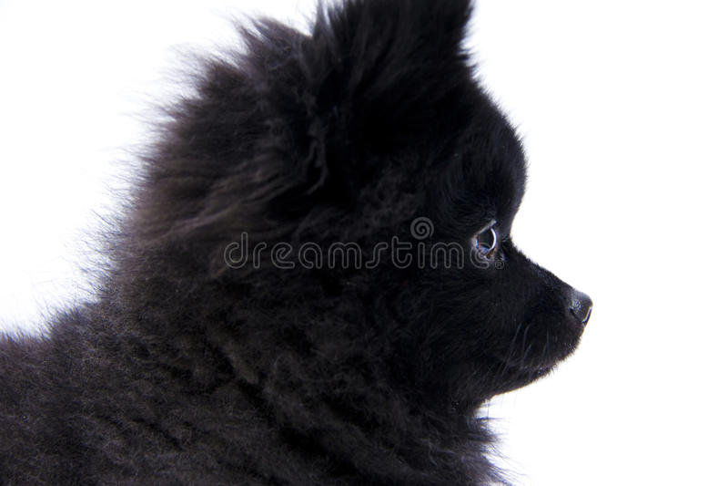 Pomeranian Profile II royalty free stock images