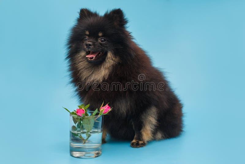 Black Pomeranian puppy and rose flowers stock photos