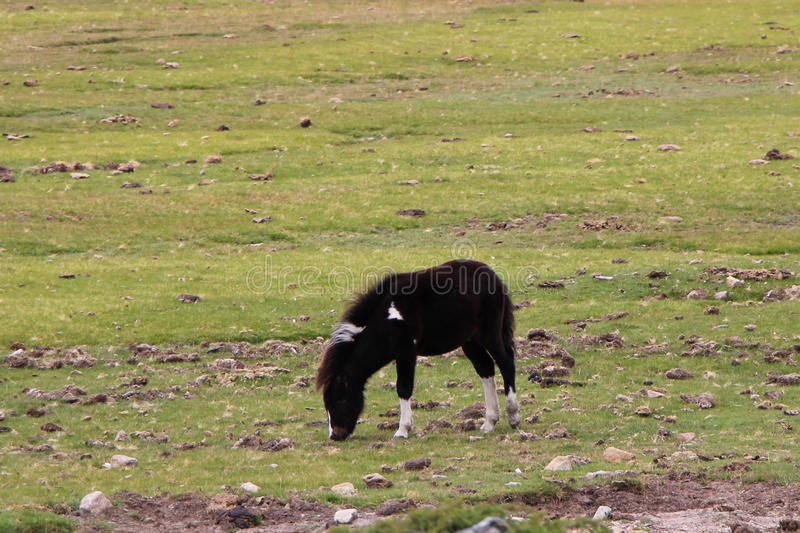 Black pony is grazing on a field. stock image