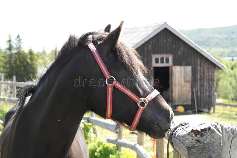 Download Black Pony/horse Portrait Stock Photography - Image: 30890632