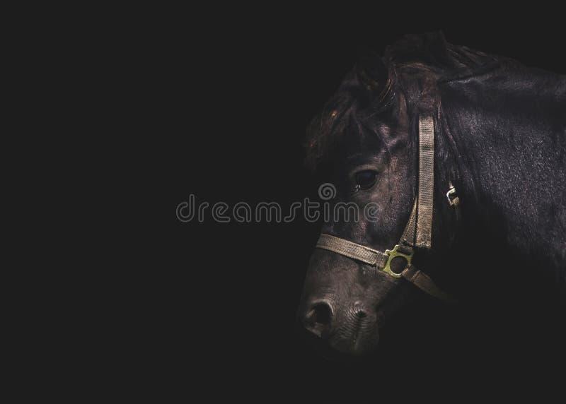 Black Pony horse portrait royalty free stock photography