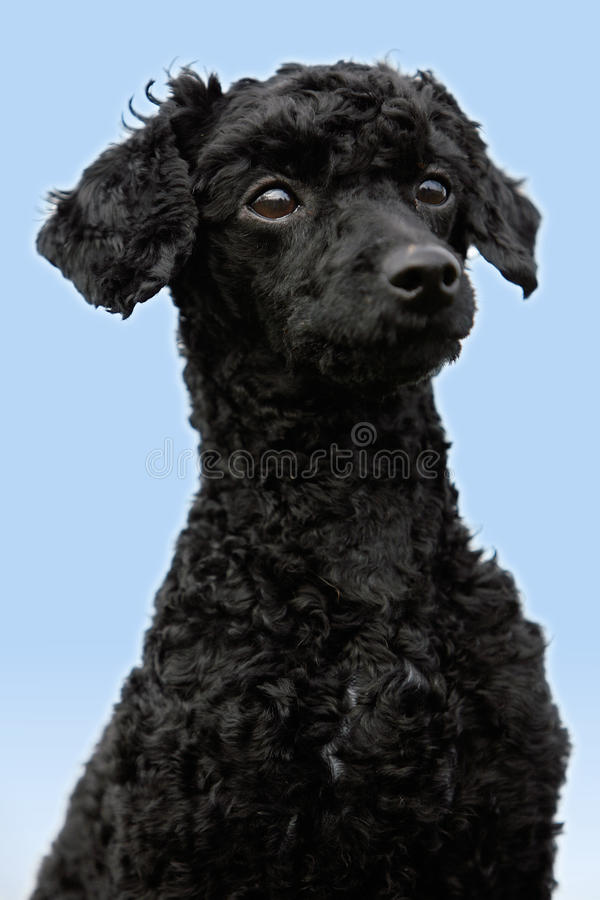 Black poodle. Close-up of a young black poodle sitting in front of the blue sky stock photo