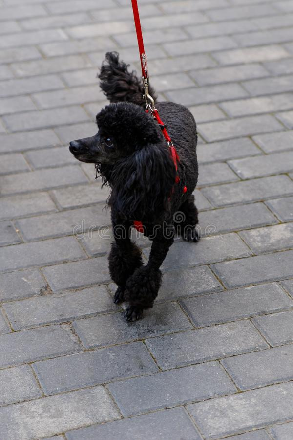 The black poodle, a beautiful portrait of a black dog standing stock images