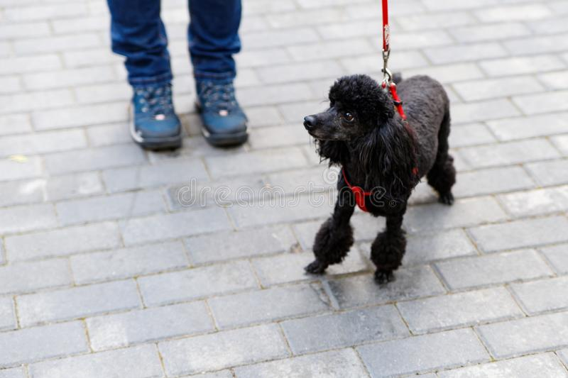 The black poodle, a beautiful portrait of a black dog standing royalty free stock photography