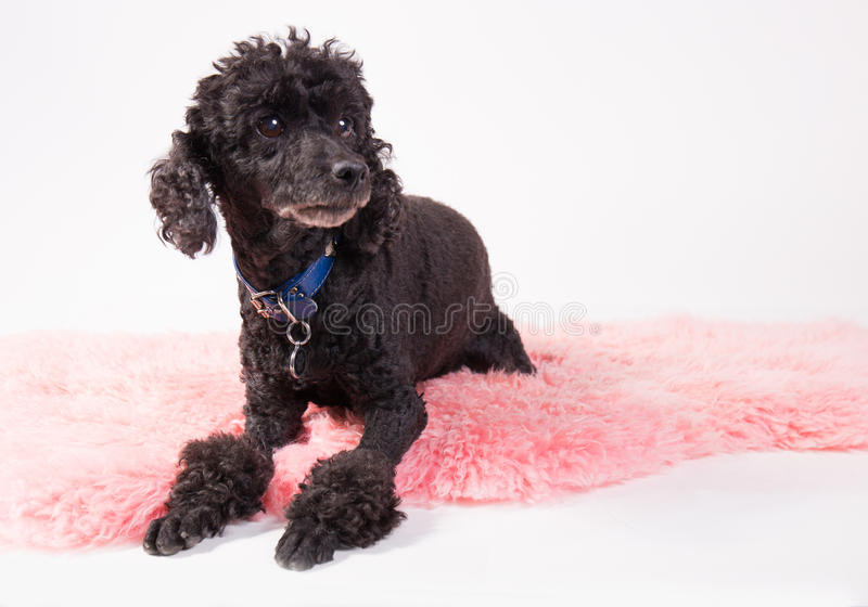 Black poodle. Cute black poodle laying on a pink rug stock photography