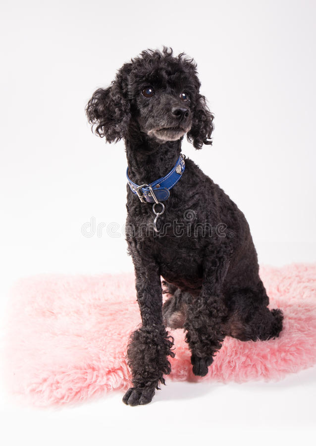 Black poodle. Cute black poodle sitting on a pink rug stock photos