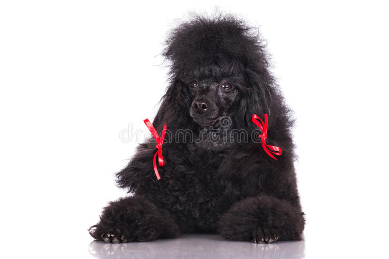 Black poodle dog. On white background stock images