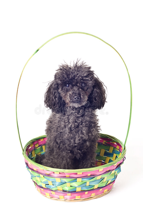 Black poodle in easter basket isolated stock image