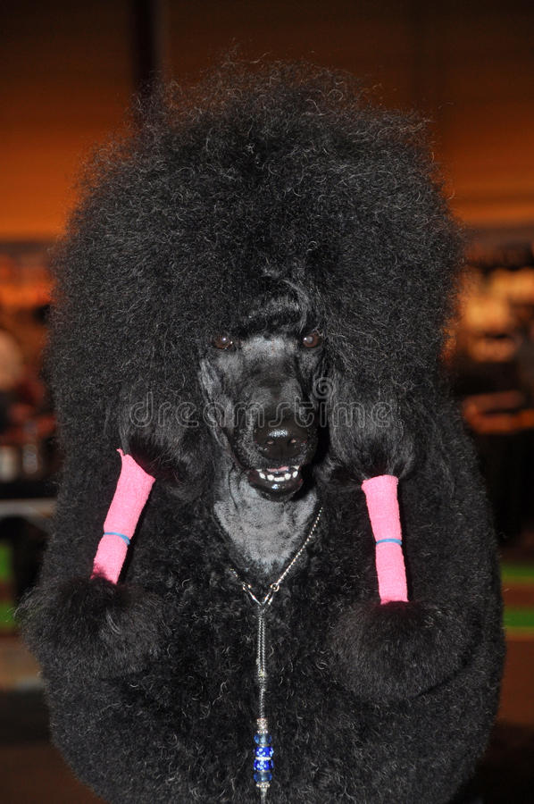 Download Black poodle funny stock photo. Image of owner, domestic - 39513318