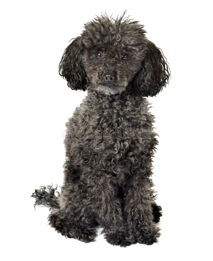Black poodle isolated. On a white background royalty free stock photos