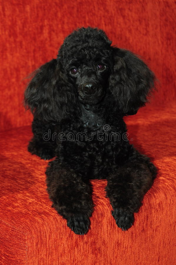 Black poodle lying on a burgundy background. Beautiful purebred black poodle lying on a burgundy background stock images