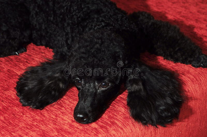 Black poodle lying on a burgundy background. Beautiful purebred black poodle lying on a burgundy background royalty free stock photography