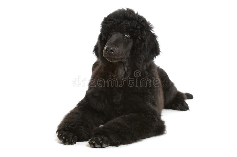 Black poodle puppy. A standard poodle male puppy on white background stock photos